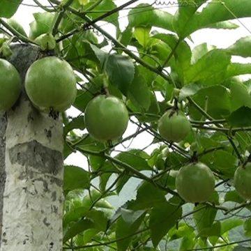 Hướng dẫn cách trồng và chăm sóc cây chanh leo cho sai quả