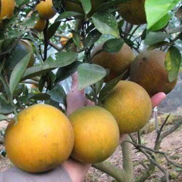 Cách trồng và chăm sóc cây cam Xã Đoài