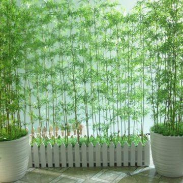Cách trồng và chăm sóc cây trúc quân tử