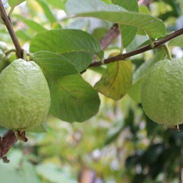 Cách trồng và chăm sóc cây ổi nữ hoàng