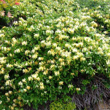 Cách phòng trống rệp cho cây kim ngân hoa