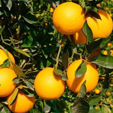 Cây cam Cara đỏ ruột không hạt khác gì với những cây cam khác  về giá trị dinh dưỡng