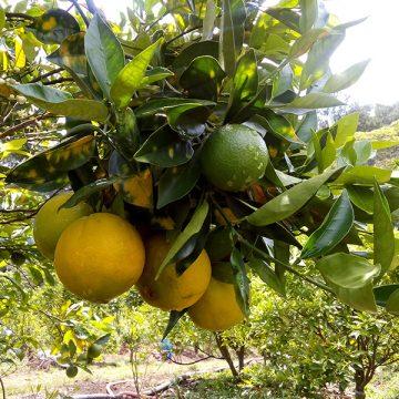 Cây cam Cara ruột đỏ không hạt – Cách trồng và chăm sóc cam cara ruột đỏ