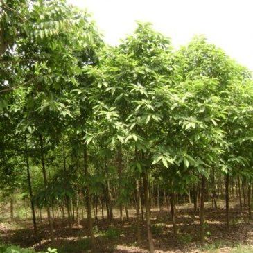 Cây hoàng lan – cách trồng và chăm sóc cây hoàng lan