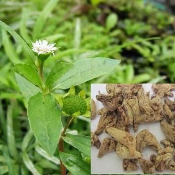 Bài thuốc chữa viêm dạ dày cấp từ cây nhọ nồi